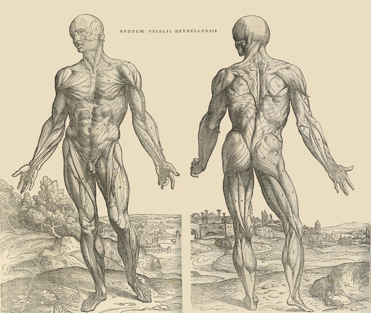 """Anatomische tekeningen uit """"De Humani Corporis Fabrica"""" van Andreas Vesalius. De tekeningen werden gemaakt door Johan Stefan van Kalkar. Bron: http://www.flandrica.be."""