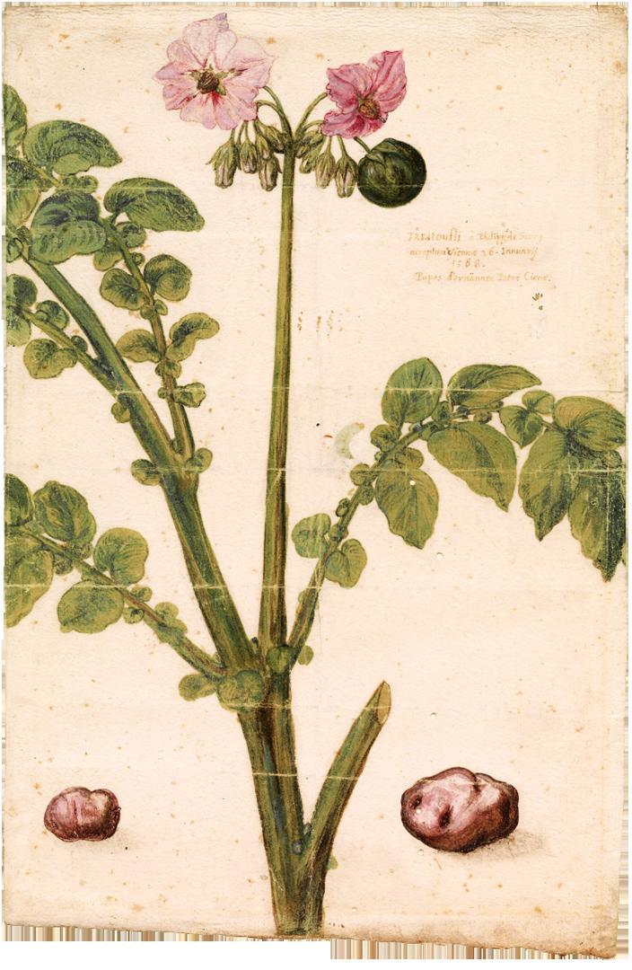 Aardappelplant, ontwerp voor boekillustratie (ca. 1588), Museum Plantin Moretus, Antwerpen